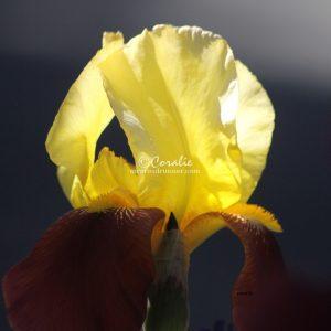 Bearded Iris Flower 310 Print Download