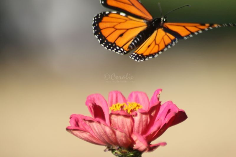 Monarch Butterfly Visits The High Desert