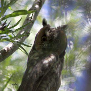 Wild Owl 1446
