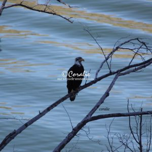 Young Bald Eagle 063