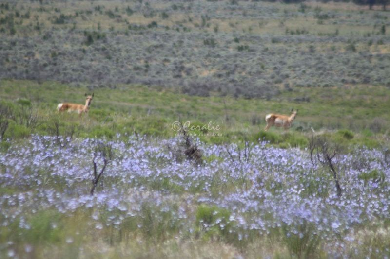 Antelope Pronghorn of Jefferson County