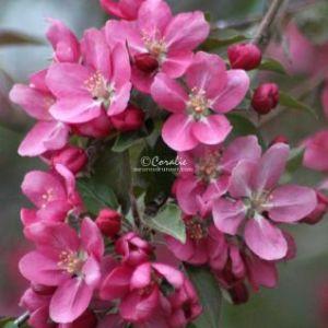 Apple Blossoms 027 Web Download
