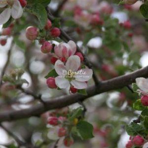 Apple Tree Blossom Flower 084 Web Download