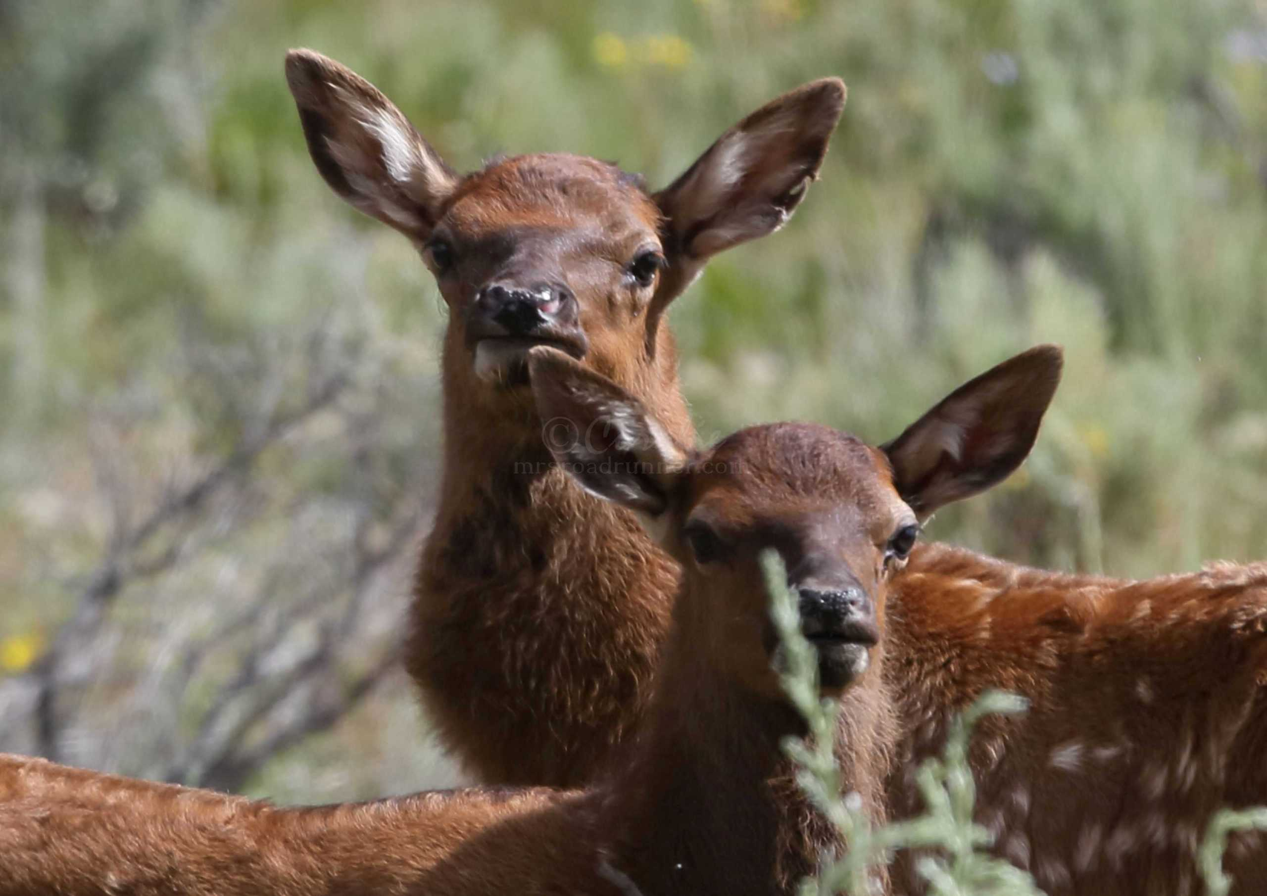 Baby Elk Calves Of The Ochoco Mountains