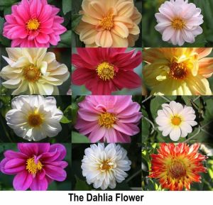 Many Faces Of The Dahlia By Coralie