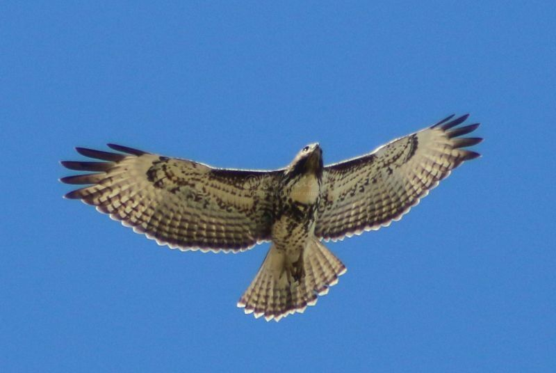 Red Tailed Hawk Flying Above