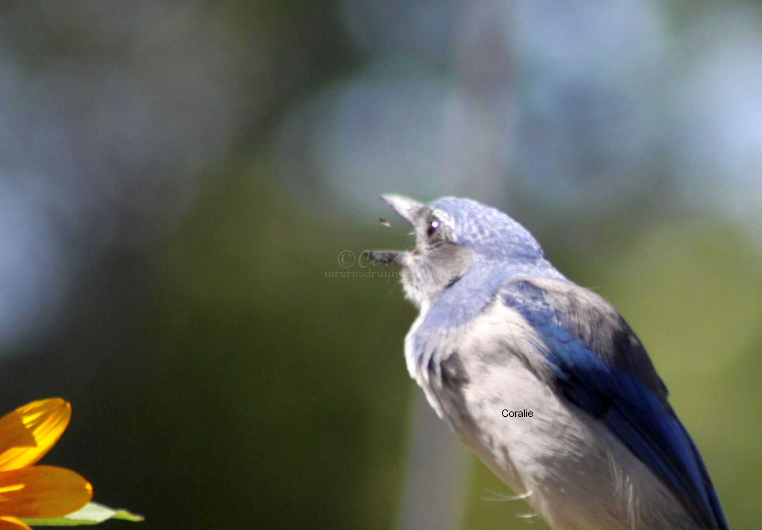 Scrub Jay Playing With Food