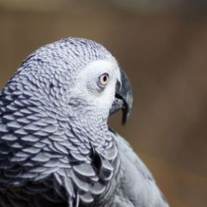 African Grey Parrot 036 Web Download