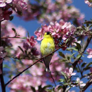 American Goldfinch Bird 265