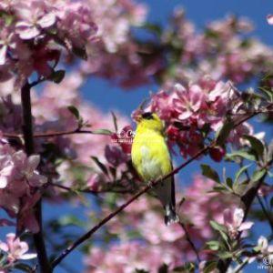American Goldfinch Bird 427 Web Download