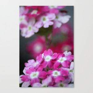 Pink White Verbena Flowers Canvas Print