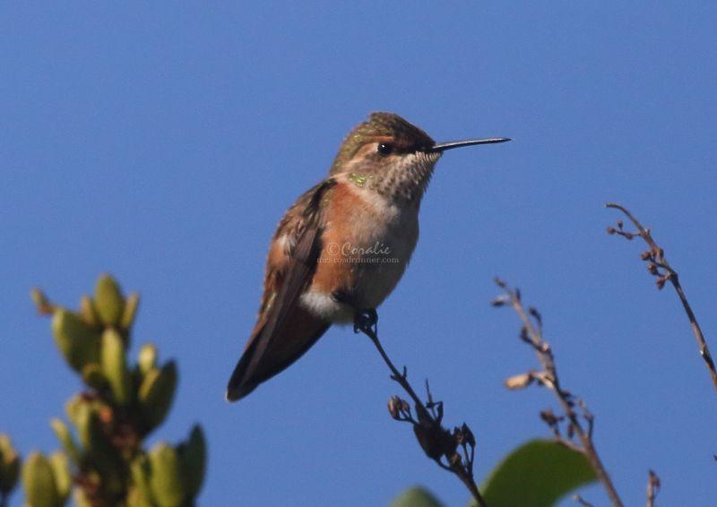Hummingbird In The Lilacs