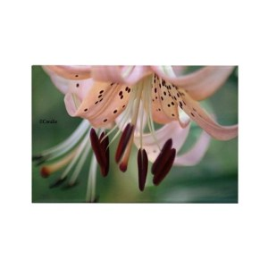 Bloom of the lily flower Rectangle Refrigerator Magnet