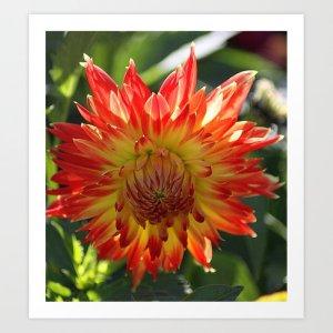 Fire In The Sky dahlia flower 096 Art Print