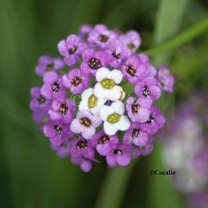 Alyssum Small Flower Bloom 142 Print Download