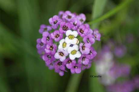 alyssum small flower bloom 142