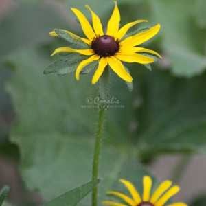 Black Eyed Susan Flowers 105 Print Download