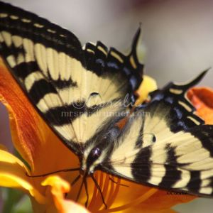 Yellow Swallowtail 1034 Print Download