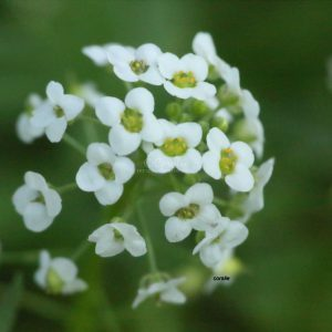 Alyssum Flower T38A1239 Print Download