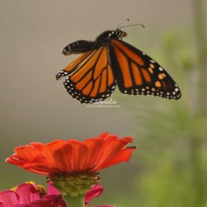 Monarch Butterfly Flying Away T38A51721 Print Download