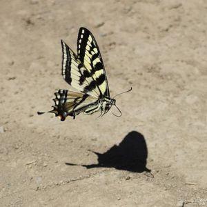 Swallowtail Butterfly 2253 Web Download