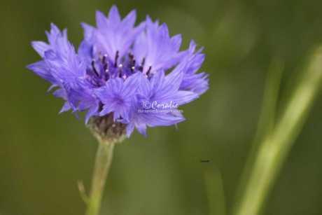 Bachelor Button Flower 325