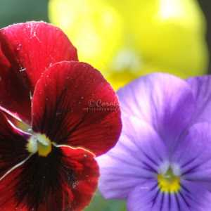 Colors of the Pansy Flowers 012