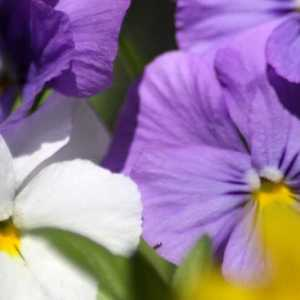 Colors of the Pansy Flowers 044