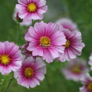 Cosmos Flower Blooms 001 Print Download