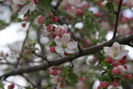 apple tree blossoms flower 084