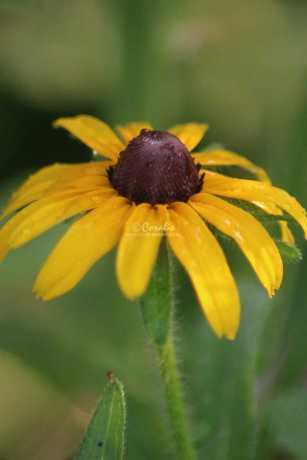 black eyed susan flower bloom 072