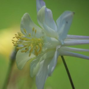 Columbine Flower Bloom 307