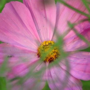 Cosmos Flower Bloom 038 Print Download