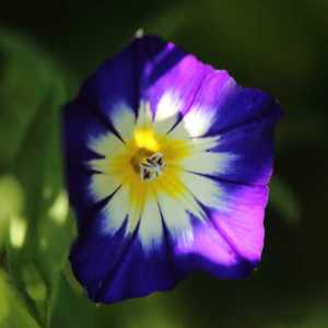 Dwarf Morning Glory Royal Ensign Flower T38A1457