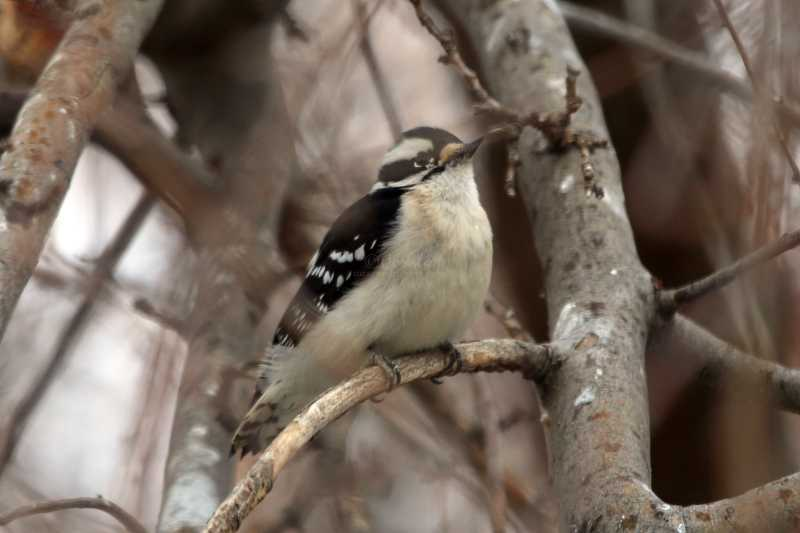downy woodpecker T38A1976
