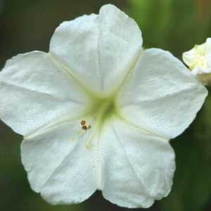 four oclock flower T38A1473