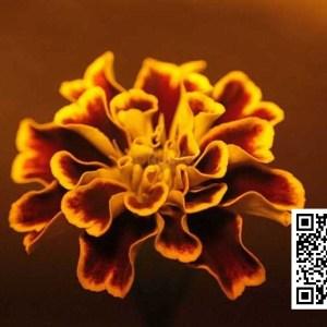 Marigold Flower 043