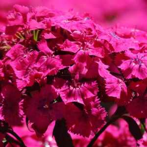 pink sweet william flowers T38A2271