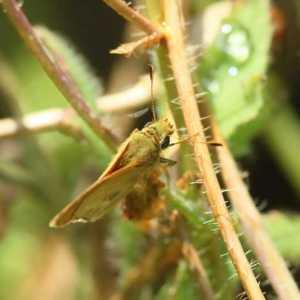 skipper butterfly T38A1299