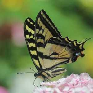 swallowtail butterfly T38A2335