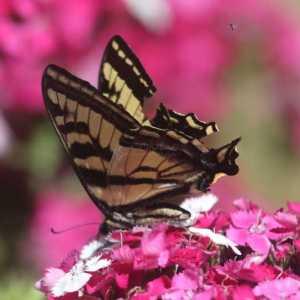 swallowtail butterfly T38A2399