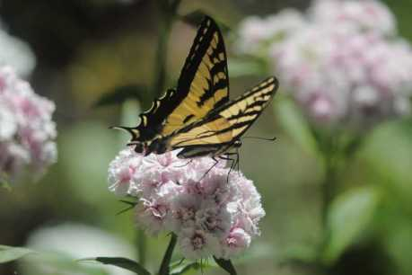 swallowtail butterfly sweet williams flowers T38A2293