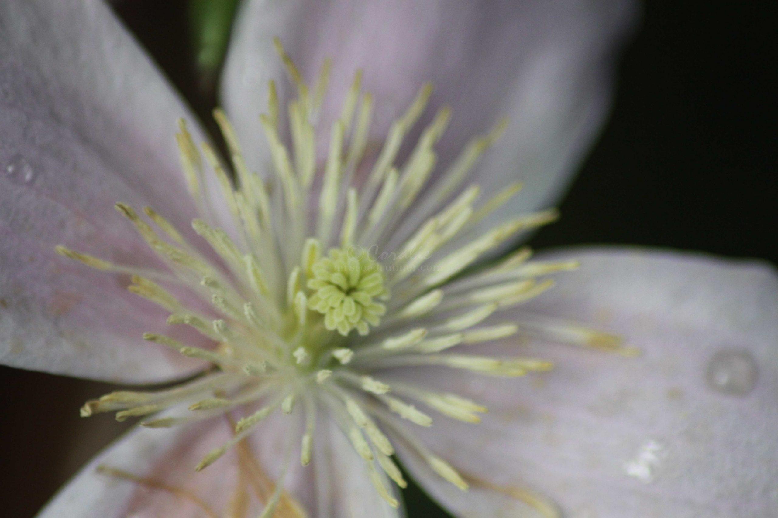 clematis flower 051