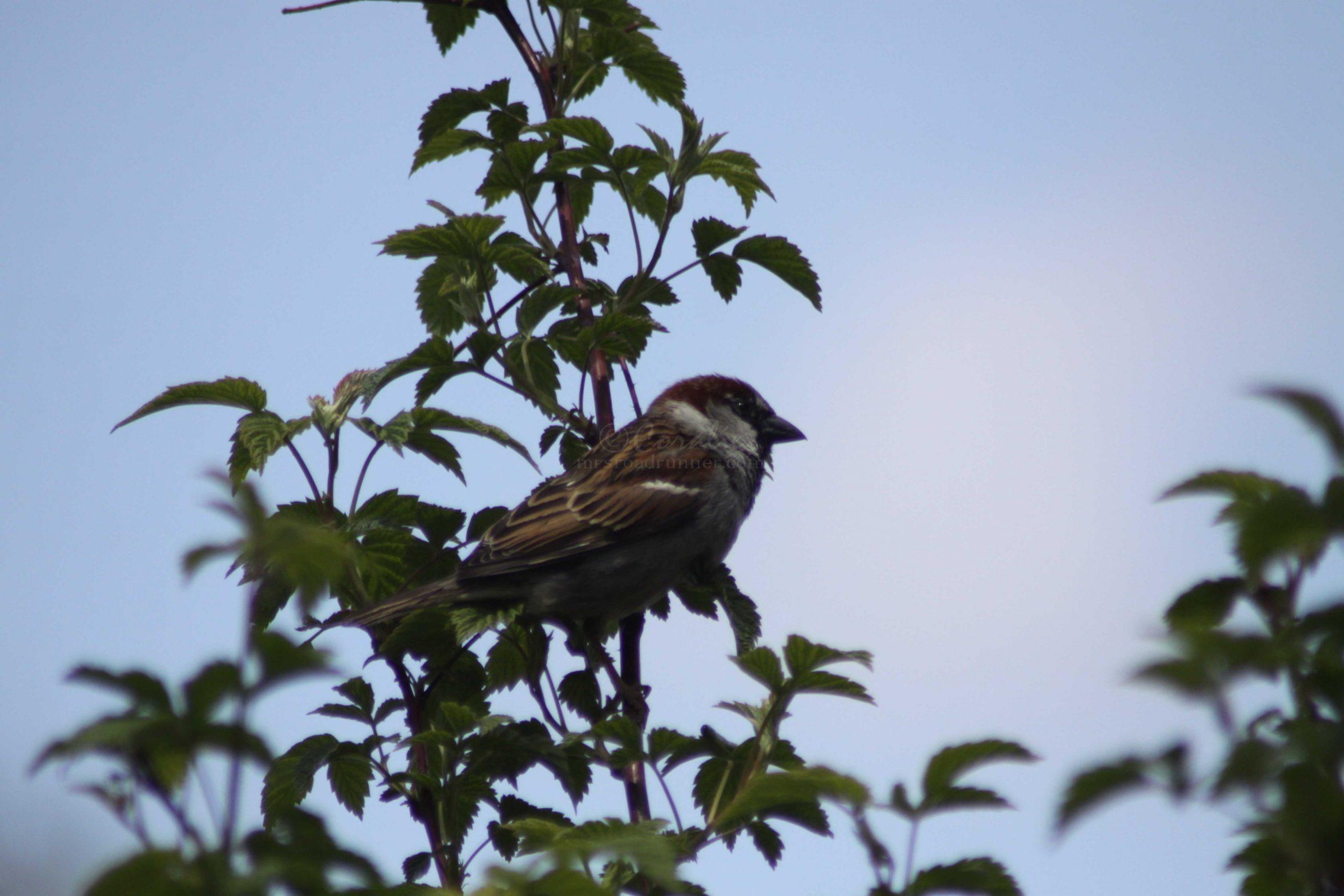 house sparrow 220