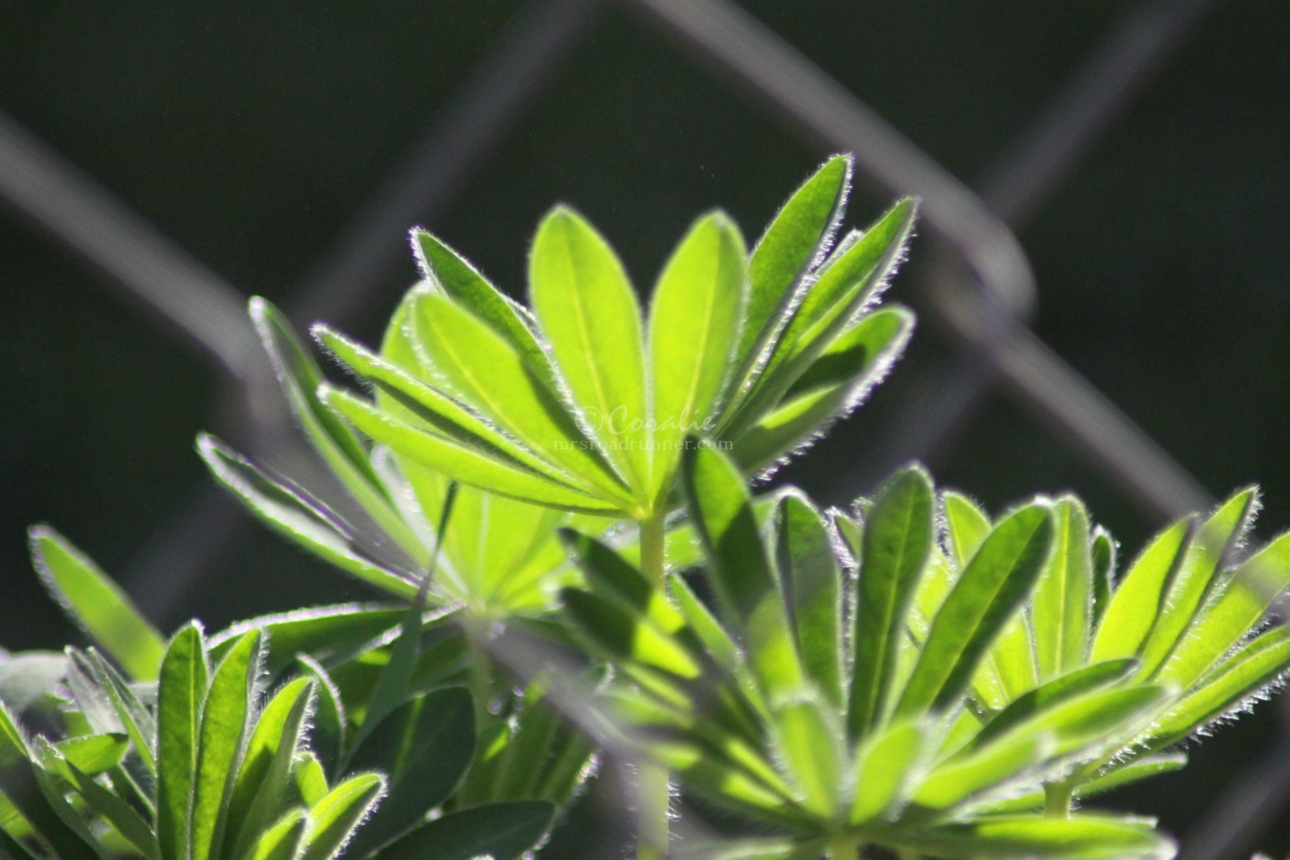 lupine leaves 081