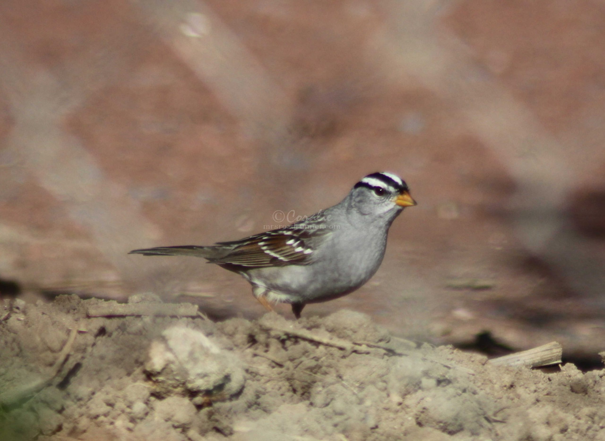 white crowned sparrow 017