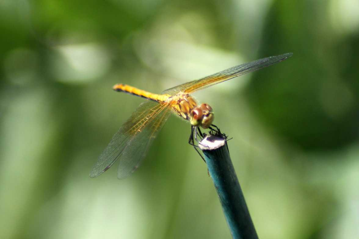 Saffron-winged Meadowhawk - Sympetrum costiferum 260
