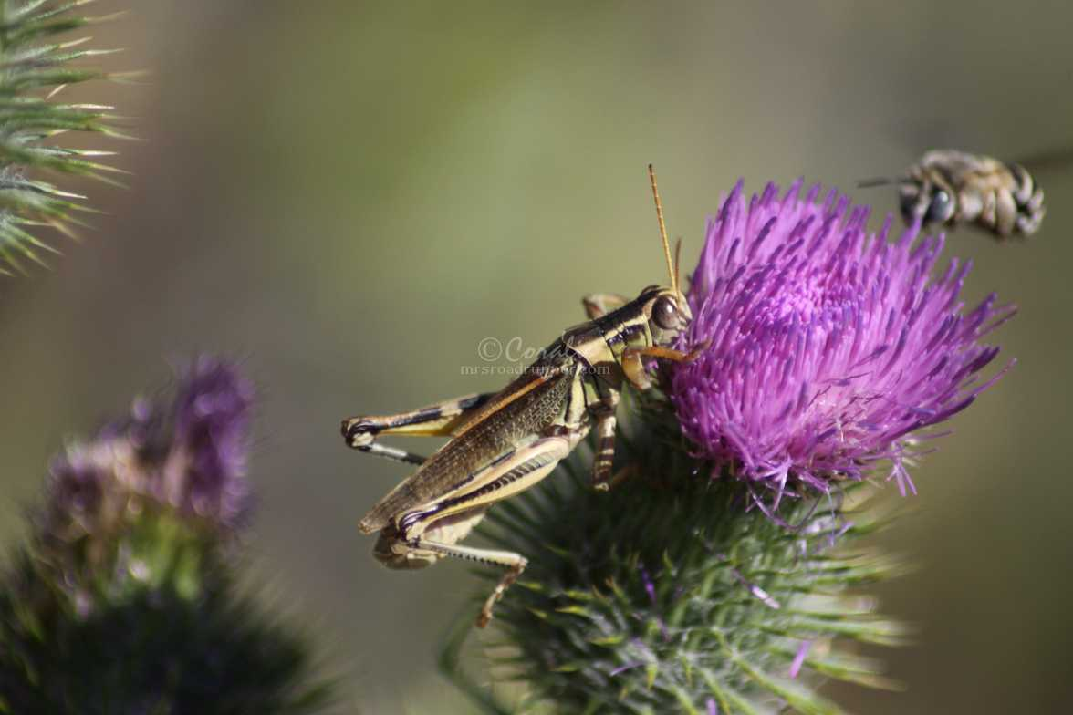 activity on a thistle flower 1297