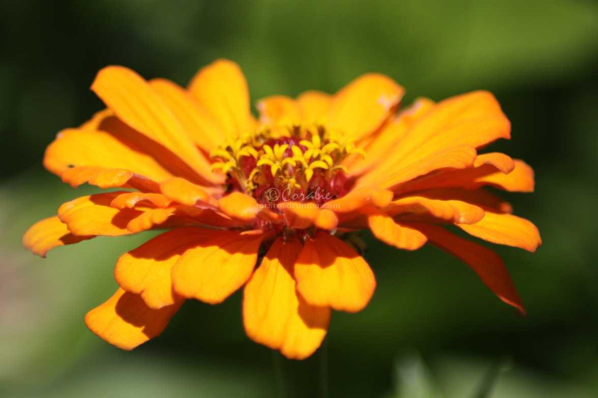 bright zinnia flower 002