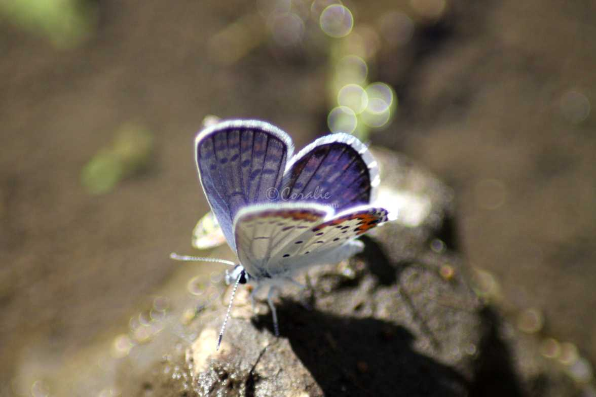 colorful blue butterfly 343